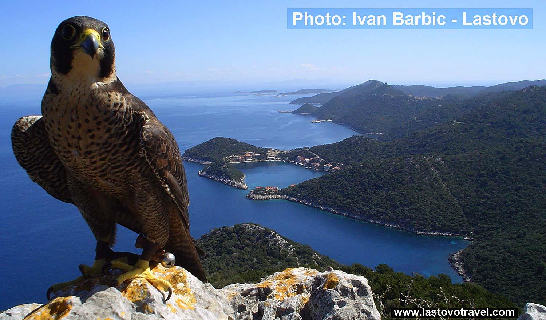 Hawk above Zaklopatica bay, Lastovo Island