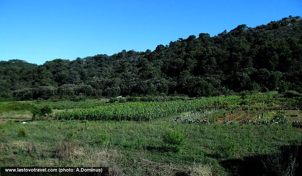Vineyard in Lastovo Island